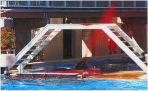 Aggression between two female orcas in captivity (source: Google creative commons)