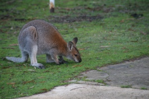 Redneck Wallaby (Source: John Sharp 2013)