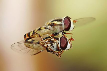 800px-Hoverflies_mating_midair