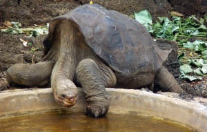 Lonesome George 2010