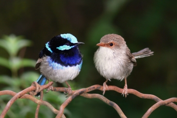 Superb_fairy_wrens_mark_2