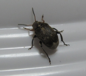 Bean weevil full
