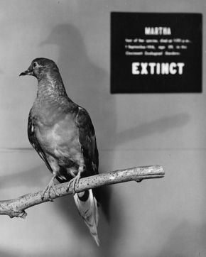 Meet Martha the passenger pigeon