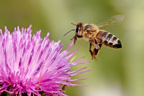 800px-Honeybee_landing_on_milkthistle02